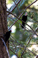 White headed woodpeckers