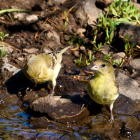 American Goldfinch (females)