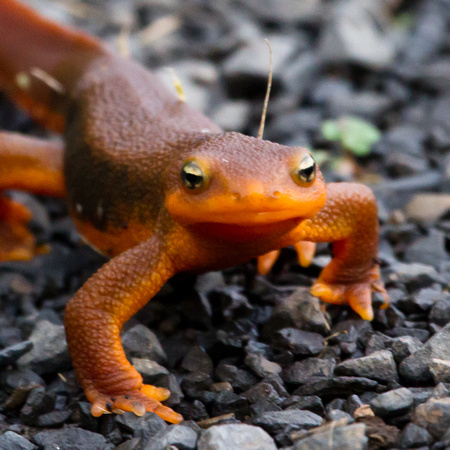 Rough Skinned Newt